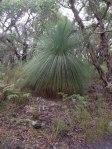 Grass Tree big