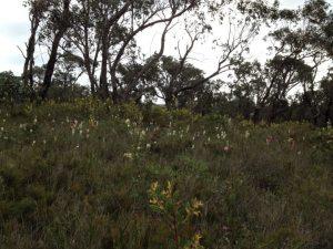 Anglesea Heath - wildflowers